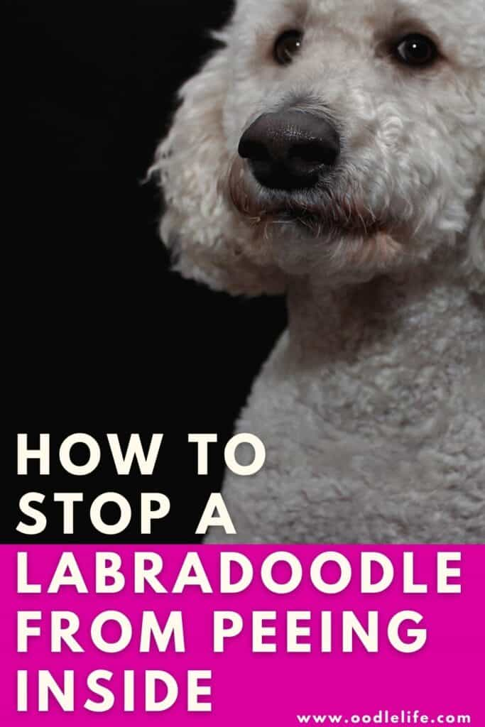 how to stop a Labradoodle peeing in house