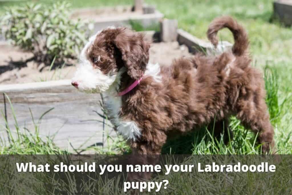 labradoodle puppy names