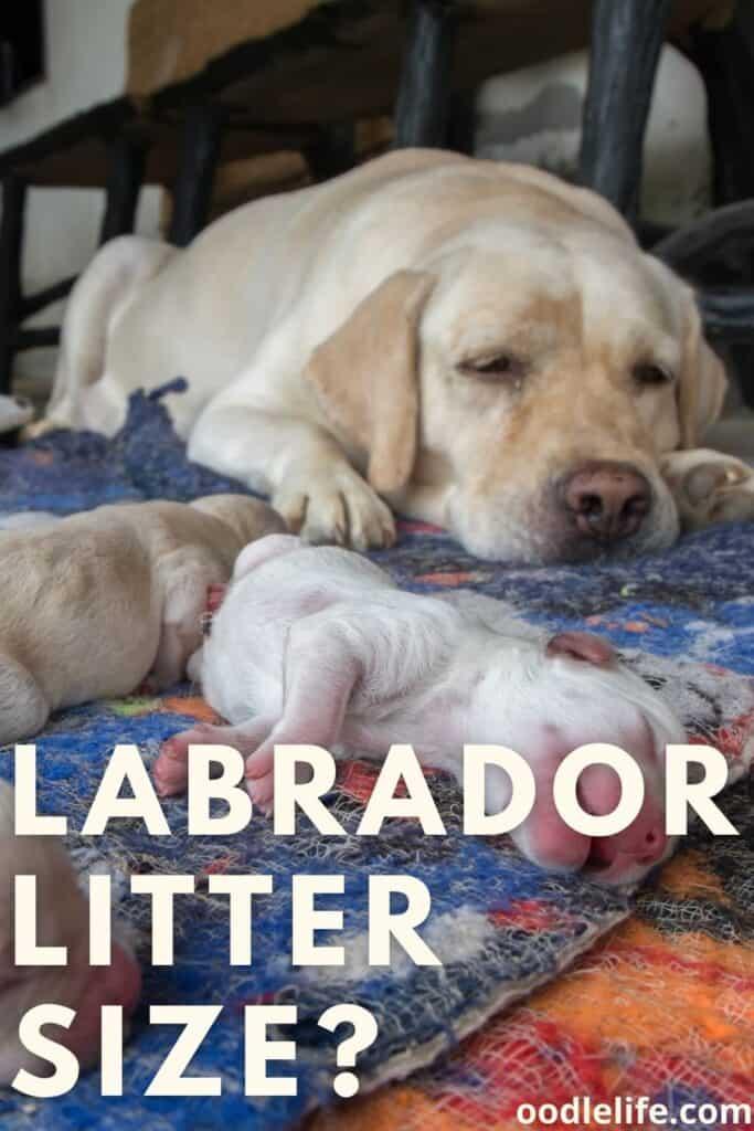 labrador litter size