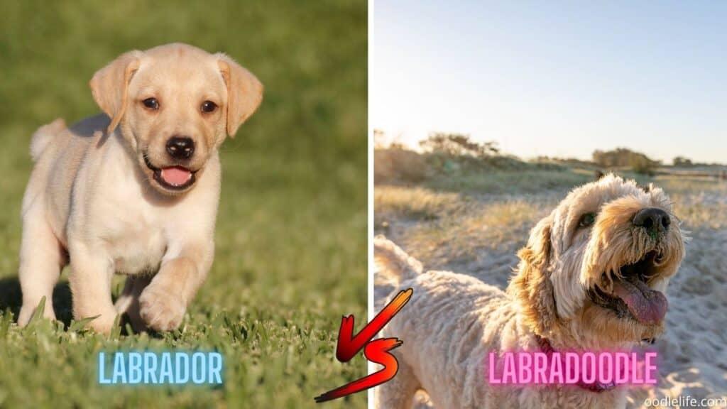 labrador vs labradoodle puppy