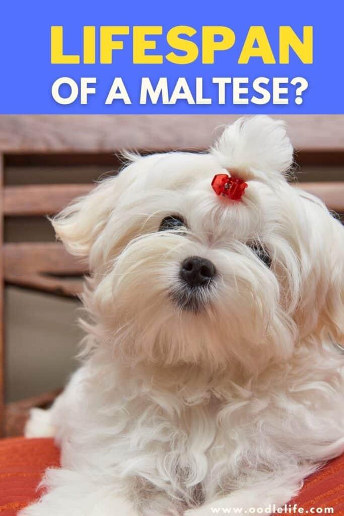 maltese lifespan