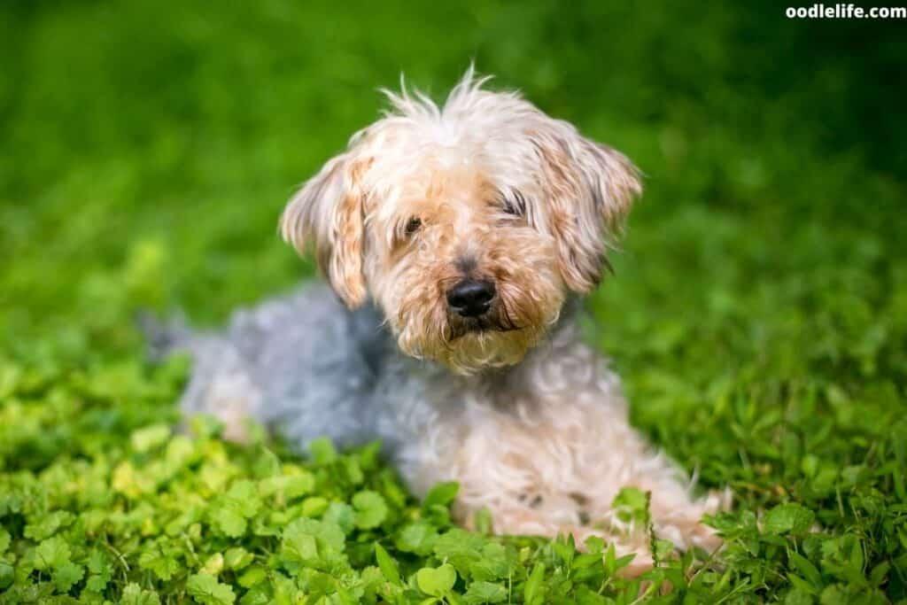 yorkiepoo puppy on grass