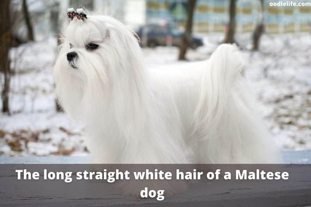long hair maltipoo dog
