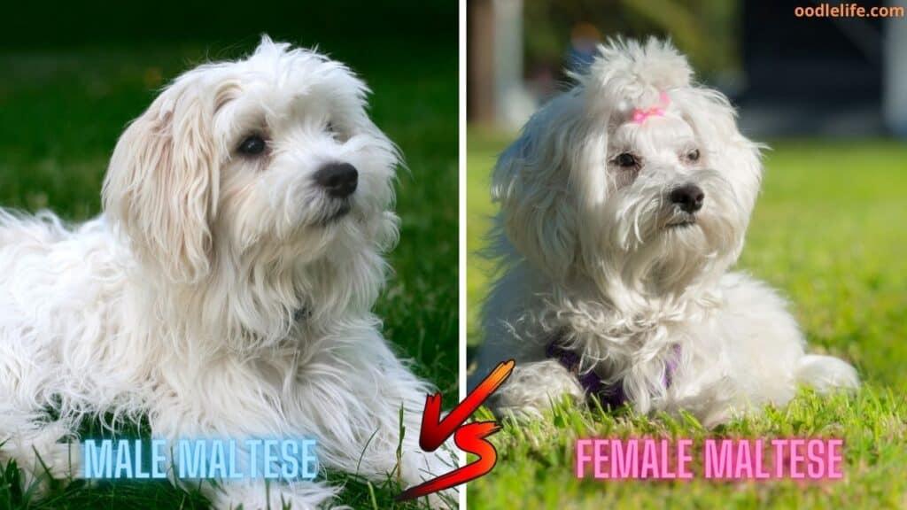 male vs female maltese dogs
