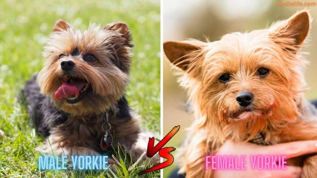 males vs female yorkies