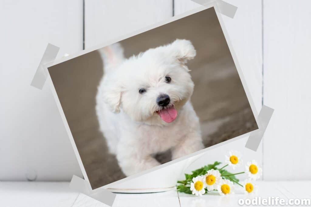 happy maltese puppy
