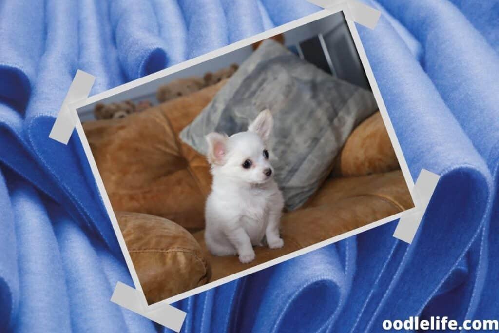 a miniature white dog