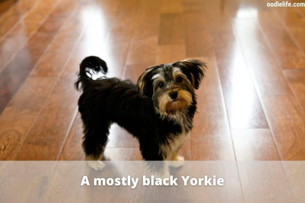 a black yorkie