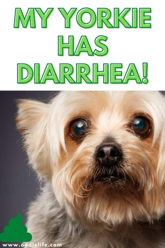 my yorkie has diarrhea