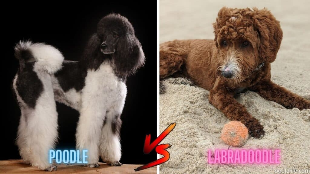 black and white poodle next to red labradoodle