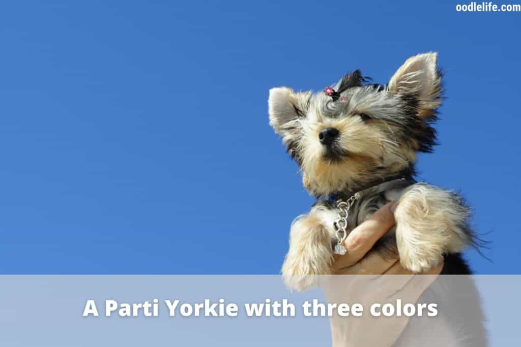 a parti yorkie held to the sky