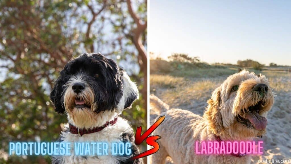 water dog vs labradoodle