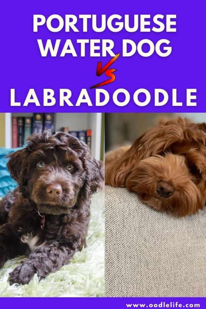 portuguese water dog vs labradoodle
