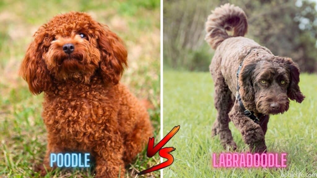 red poodle next to chocolate labradoodle