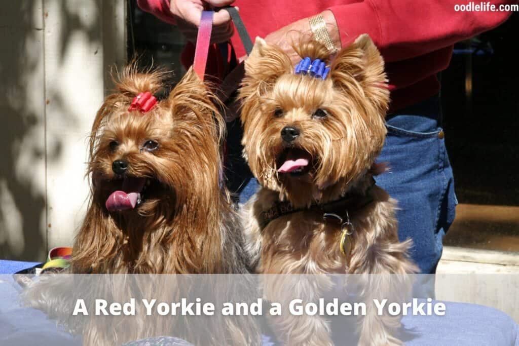 red yorkie and golden yorkie
