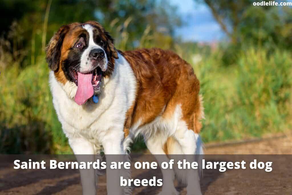 a giant saint bernard dogs