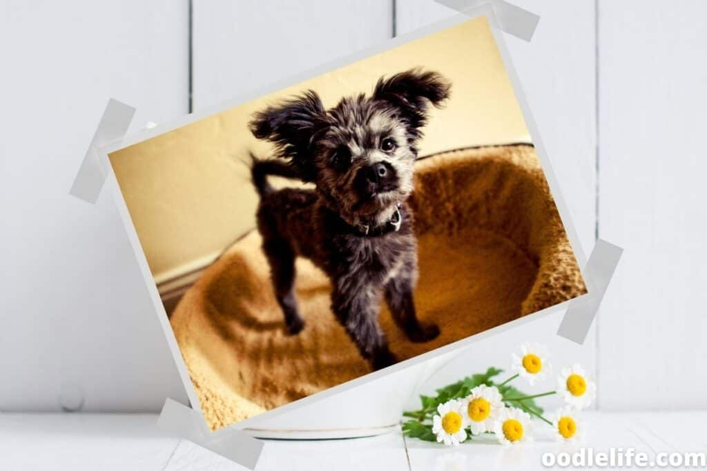 small yorkie poo puppy