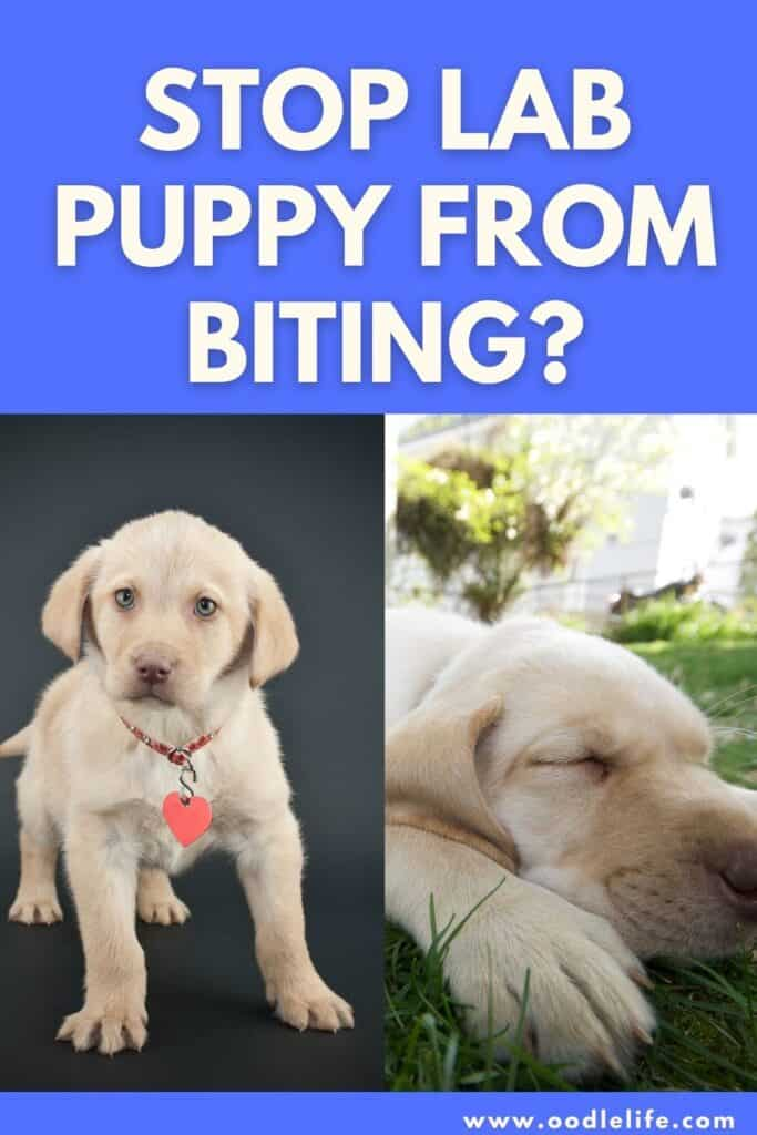 how to stop a lab puppy from biting