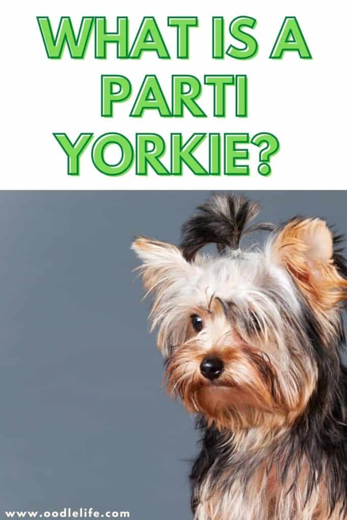 what is a parti yorkie
