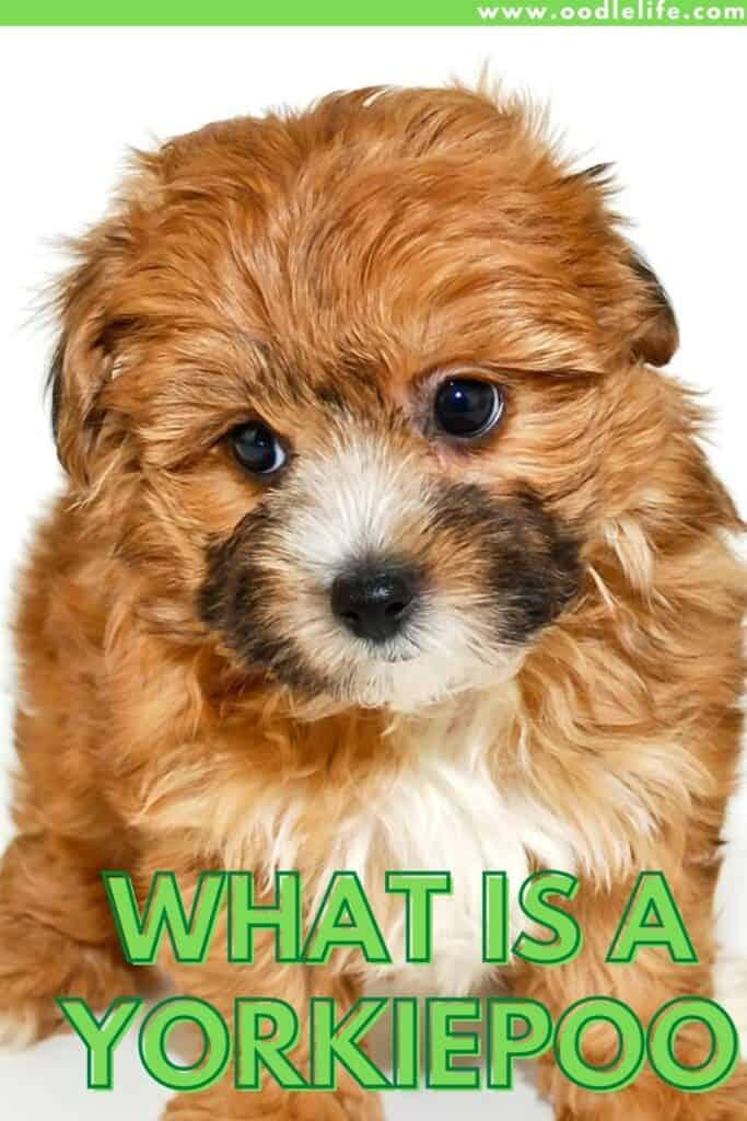 what is a yorkiepoo