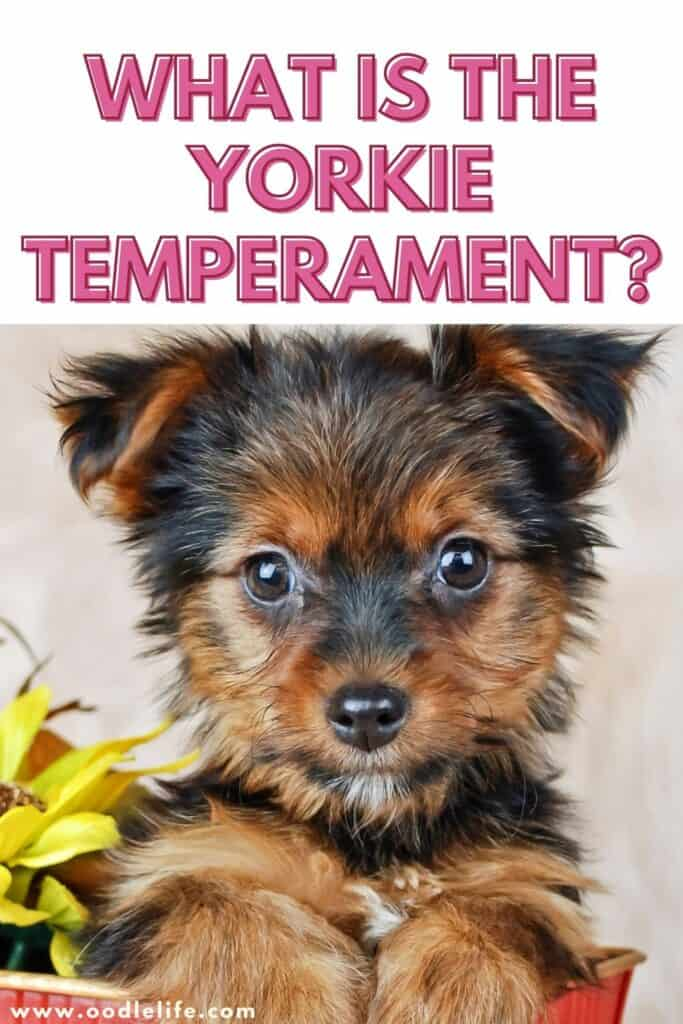 what is the yorkie temperament