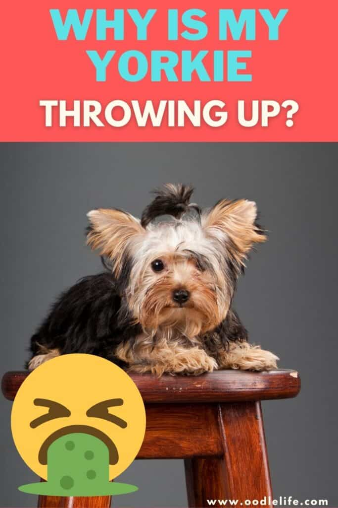 why is my yorkie throwing up