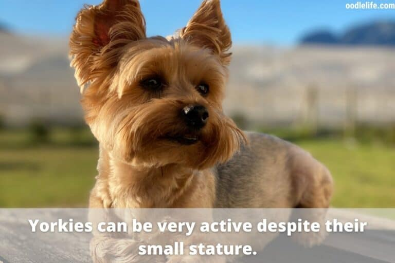 Can You Run With a Yorkie?
