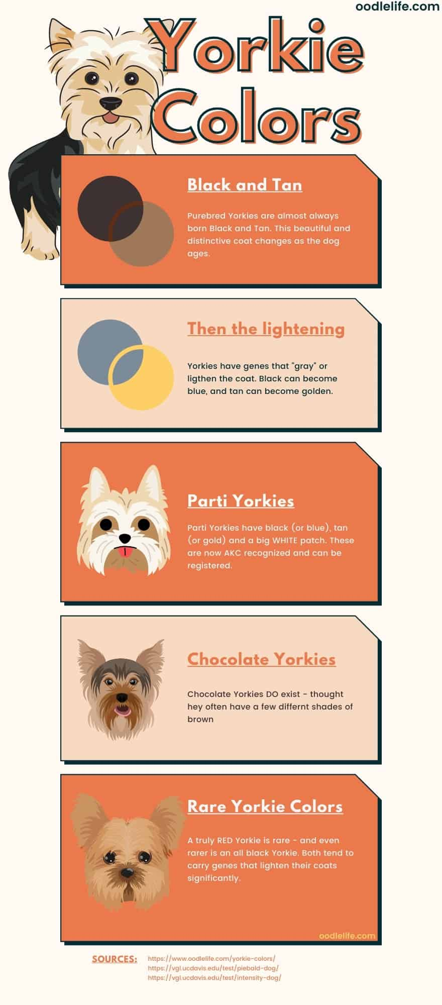 yorkie colors - every coat color explained