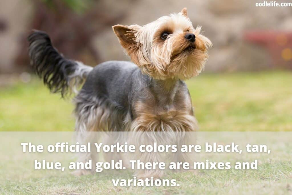 official yorkie colors