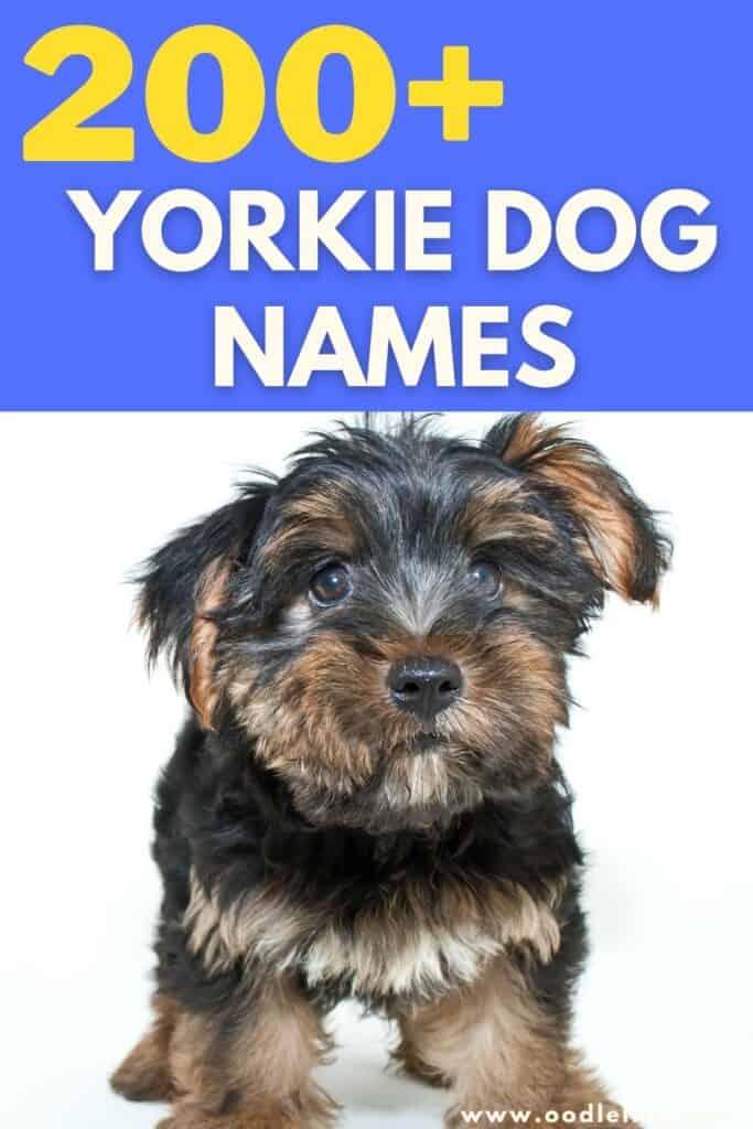 best yorkie names