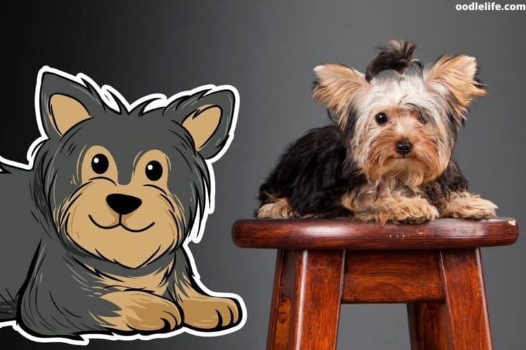 Yorkie Ears Not Standing Up?