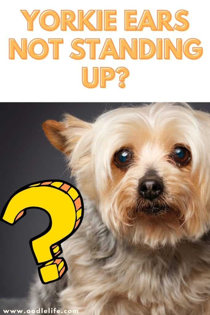 yorkie ears not standing up advice