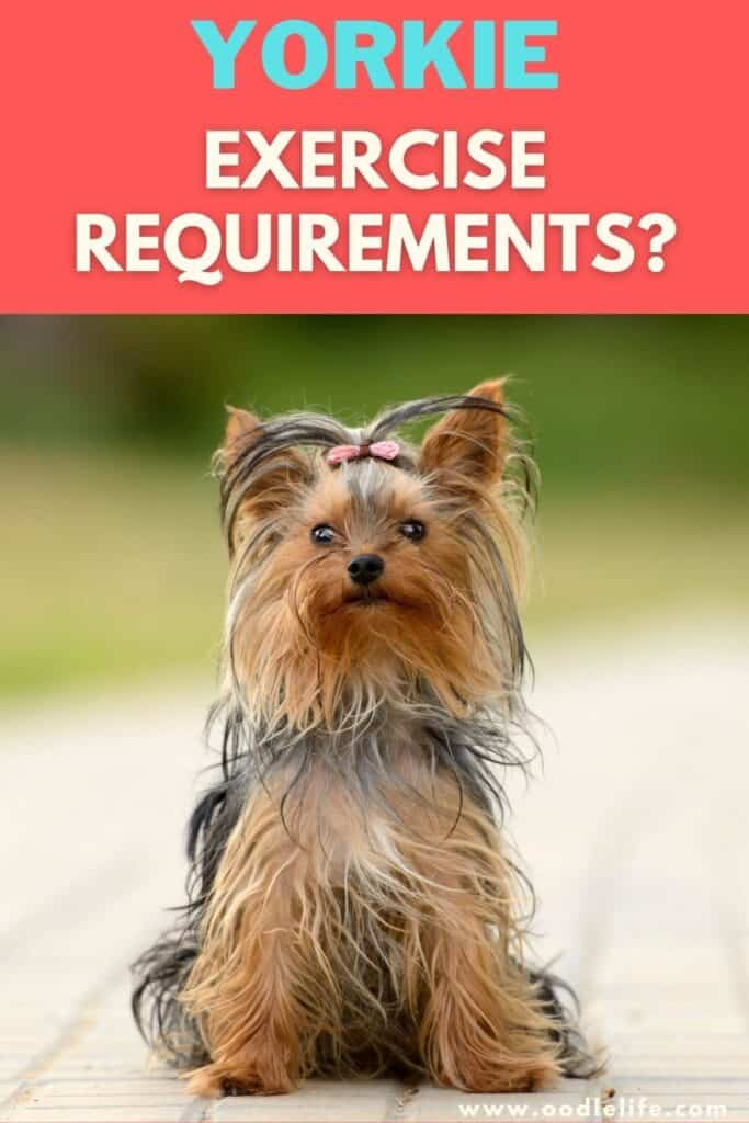 yorkie exercise requirements