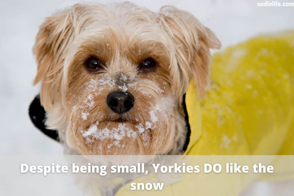 yorkie in the snow