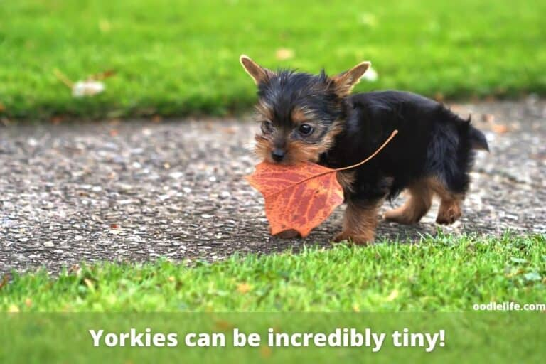 Why Does My Yorkie Lick Me So Much?