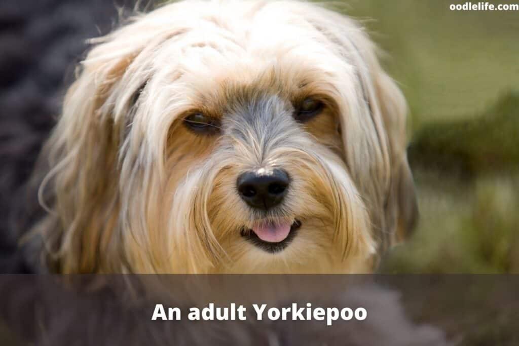 adult Yorkie Poo