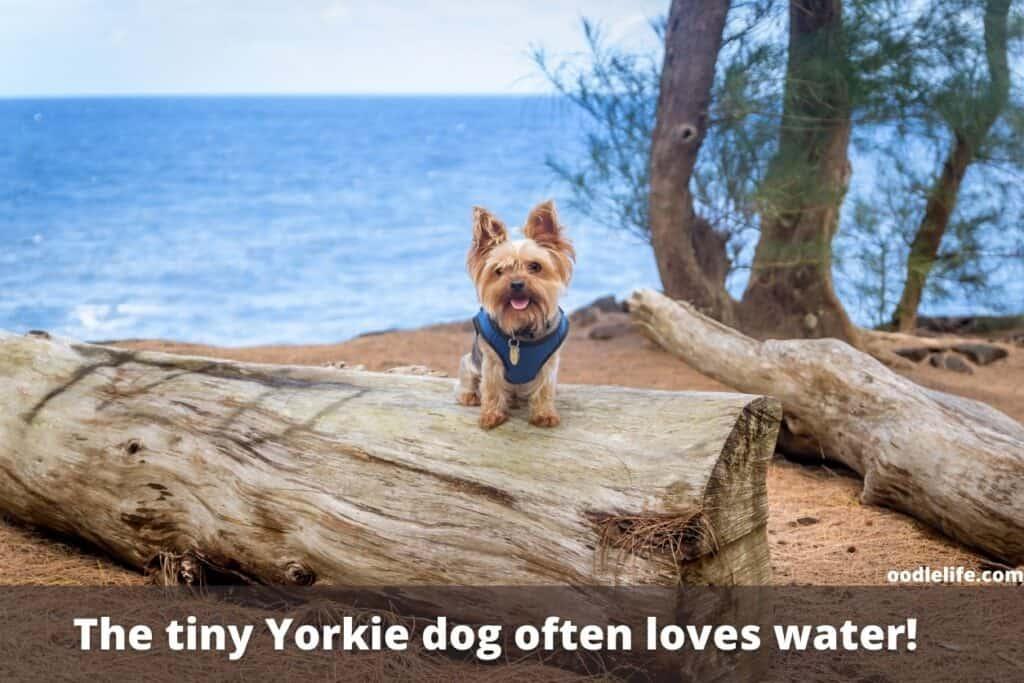 yorkies love water